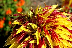 crazy flowering plant