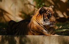 Tiger (nikhilbhaskaran) Tags: dczoo sigma50500mm d80