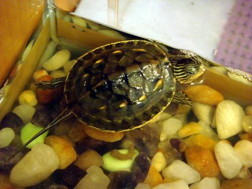 妹妹養的長尾龜