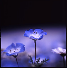 kind of blue (moaan) Tags: life blue flower color 120 6x6 mediumformat flora dof bokeh tint pistil squareformat stamen utata bloom flowering hue f28 2010 planar blooming anther 80mm carlzeiss inbloom hasselblad500cm fujivelvia100 rvp100 inlife r43 extension32e extension16e carlzeissplanarc80mmf28 gettyimagesjapanq1 gettyimagesjapanq2