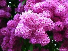 Lilas (Domi Rolland ) Tags: france nature fleur europe couleur lilas barcelonnette abigfave