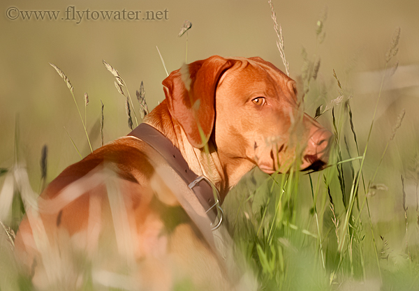 Vizsla Oil Paint Treatment