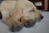 Head on Paws (macromary) Tags: dog cute puppy furry soft labrador yellowlab sweet labradorretriever paws