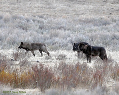 Druid Wolves at Daybreak - Yellowstone (Dave Stiles) Tags: wolf wildlife explore yellowstonenationalpark wolves nowpublic stiles canislupus yellowstonewildlife