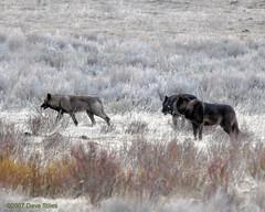 Druid Wolves at Daybreak - Yellowstone (Dave Stiles) Tags: wolf wildlife explore yellowstonenationalpark wolves nowpublic stiles canislupus yellowstonewildlife