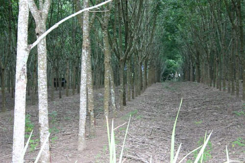 Rubber tree plantations. Near Sadao, southern Thailand.