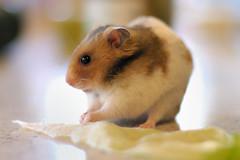 Hamster sírio dourado. http://www.flickr.com/photos/annia316