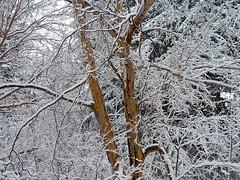 Beautiful Bark (Stanley Zimny (Thank You for 16 Million views)) Tags: christmas winter white snow tree garden ilovenature botanical bark skylands