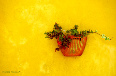 Hanging on a yellow wall (flavita.valsani) Tags: yellow wall explore explorefrontpage mywinners abigfave colorphotoaward aplusphoto superbmasterpiece valsani colourartaward iwillsleeptheentireweekend okilltrytoseesomefriendsandcatchamovie maybeiwakeuptoeatsomething