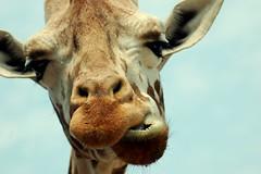 Ever seen a giraffe chew up close? (tammyjq41) Tags: northcarolina giraffe tjs naturesfinest tjd lazy5ranch animalkingdomelite abigfave anawesomeshot impressedbeauty diamondclassphotographer lmaoanimalphotoaward