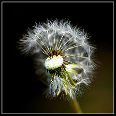 just dandy (for fouramjava) (DocTony Photography) Tags: usa plant nature dc weed bravo quality seed dandelion laurie dandy wasington tidalbasin magicdonkey fouramjava anawesomeshot impressedbeauty ultimateshot flickrplatinum doctony bratanesque magictony