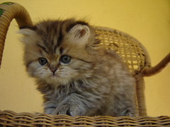 (catherine.caf) Tags: cat persian kitten chat chaton persan cc100 kittyschoice