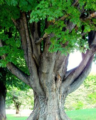 The Dancing Tree (+David+) Tags: tree highlandpark thick dancingtrees manylowbranches