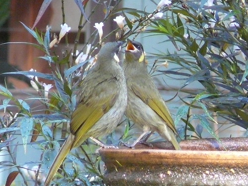 Courting Lewin's Honey eaters