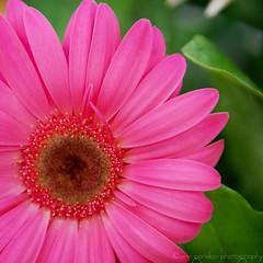 Pink - by *Ann Gordon