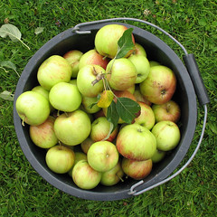 bucket apples1