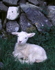 Young Irish Lamb Sitting. (moonjazz) Tags: new travel irish white cute wool nature smile field animal youth happy spring eyes furry infant rocks soft sheep farm coat country humor young smiles adorable ears newborn cuddly cuddle lamb wooly gentle animalbabies