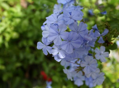 Plumbago Blossom