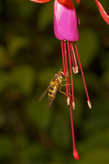 """Hoverfly on Fuschia • <a style=""""font-size:0.8em;"""" href=""""http://www.flickr.com/photos/57024565@N00/1204504400/"""" target=""""_blank"""">View on Flickr</a>"""