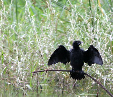 cormorant sunning itself lalbagh 070907