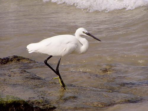 Little Egret - Цапля