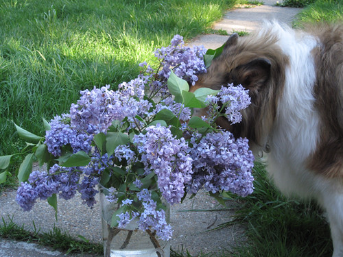 Bouquet of Lilacs eats Collie