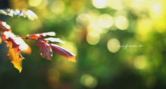[17/365] Keeping it simple (ng.kelven) Tags: sunset leaves canon 50mm bokeh mark f14 sigma ubc ii 5d