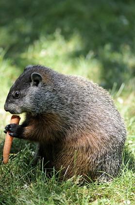 -12- Le jour de la marmotte
