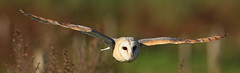 Barn Owl (Meetchum Photography) Tags: bird canon flying owl barnowl kerkuil uil flyingbird birdaction flyingowl vliegendevogel vliegendeuil