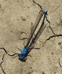 Transformer dragonfly