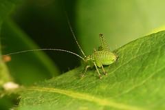 """Juvenile Speckled Bush Cricket (Leptophyes punctatissima) • <a style=""""font-size:0.8em;"""" href=""""http://www.flickr.com/photos/57024565@N00/551639520/"""" target=""""_blank"""">View on Flickr</a>"""