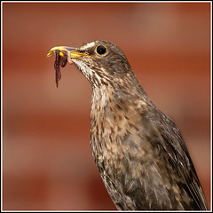 """""""Bringing home the bacon"""" (Dave-F) Tags: female canon bacon 300d worms turdusmerula blackbird 100400 avianexcellence"""