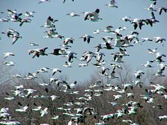 Snow Geese (Ed Boykin) Tags: geese snowgeese