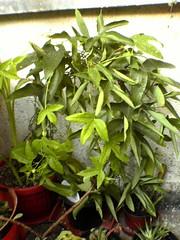 Dsc01841 (bvr_poste) Tags: passiflora