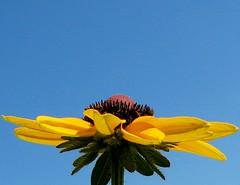 I'm all yours! (myruby) Tags: blue sky flower green yellow daisy naturesfinest supershot abigfave colorphotoaward impressedbeauty