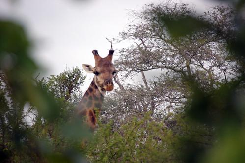 Giraffeethruthetrees