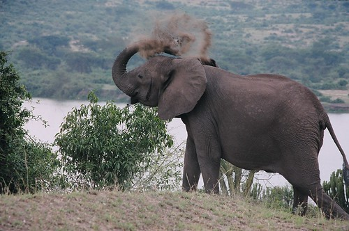 Uganda - QENP Elephant Angry