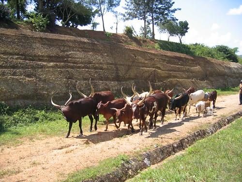 Uganda - Roadside Ankole Cattle
