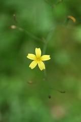 Teeny little yellow flower (koe2moe) Tags: macro yellowflower flowerpower 2007 flowermacro ilovegreen