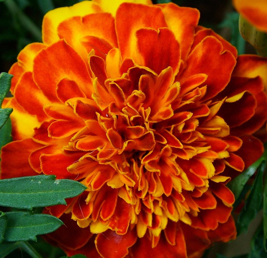 Marigold from Brattle Street garden