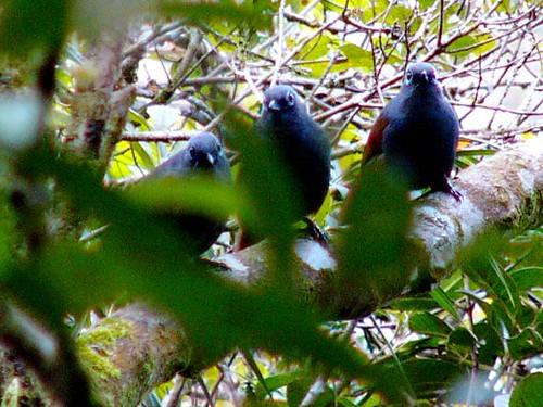 Sunda Laughingthrush -Garrulax palliatus