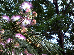 What Kind of Tree Is This? (Answered: Mimosa Tree)