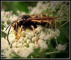 (andrewlee1967) Tags: uk england macro insect wasp bee stinger naturesfinest littleshit andrewlee canon400d andrewlee1967 justafteritookthisthelittlebuggerwentforme callitwhatyouwant lookatmeimbiggerthanafordfocus focusman5