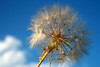 Ready to be blown - Lista para soplar (catirebcn) Tags: blue sky white plant flower planta blanco azul de explorer flor blow dandelion leon cielo cy brujas diente soplar semilla sopla cy2 challengeyouwinner p1f1 aplusphoto ltytr1 a3b coolestphotographers bruixas explorer254