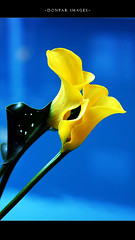 The Romancer (donpar) Tags: blue flower love yellow romance callalilly callalily flowerotica flickrsbest romancer infinestyle diamondclassphotographer donpar