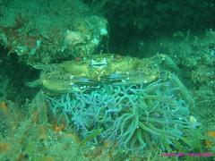 p42900684bt[1] (coismarbella) Tags: mergulho dive scuba diving buceo submarinismo tauchen plonge crustaceos