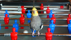 Where is the Player ? (*volar*) Tags: bird player cockatiel soe rambo nymphensittich featheryfriday lmaoanimalphotoaward jggelikasten