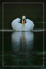 Daddy (hvhe1) Tags: reflection bird nature water animal daddy swan bravo wildlife waterfowl interestingness56 specanimal animalkingdomelite hvhe1 hennievanheerden