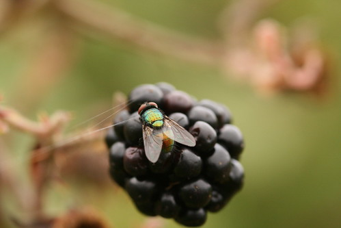 Green Bottle Fly on  a Blackberry