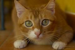 070930_IMG_8171 (cybercynic) Tags: domesticcats bestofcats 周家貓 阿拔 buffwonderland boc1007